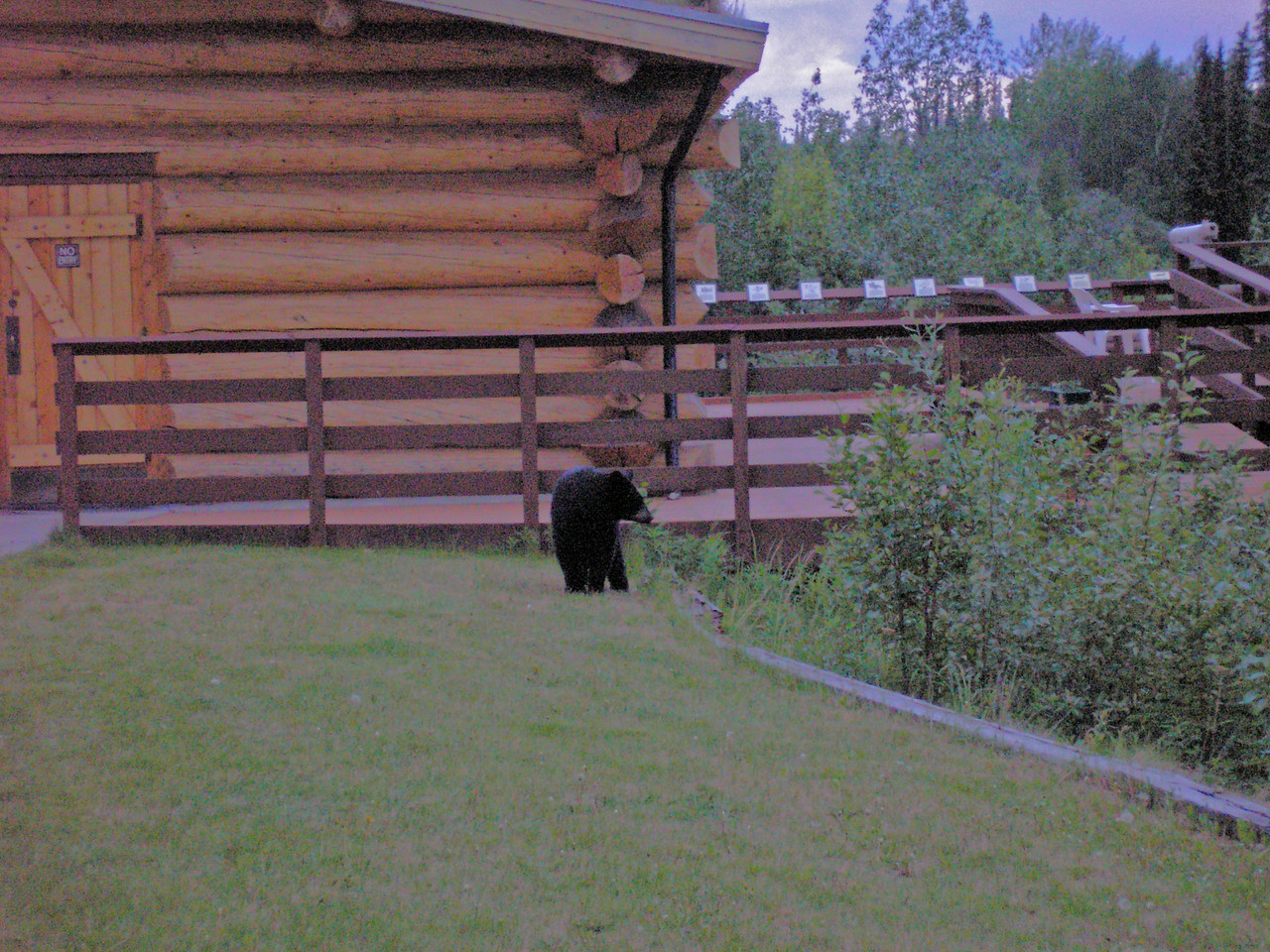 This view is of a Black Bear at Tetlin Visitor Center, right behind where we parked the rig.