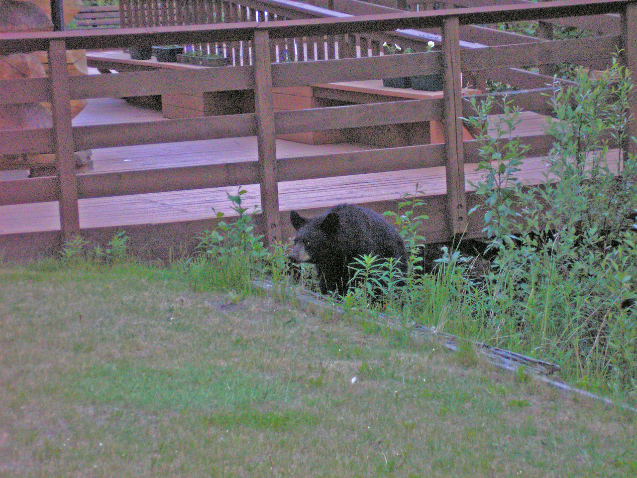 Black Bear Yearling at Tetlin VC