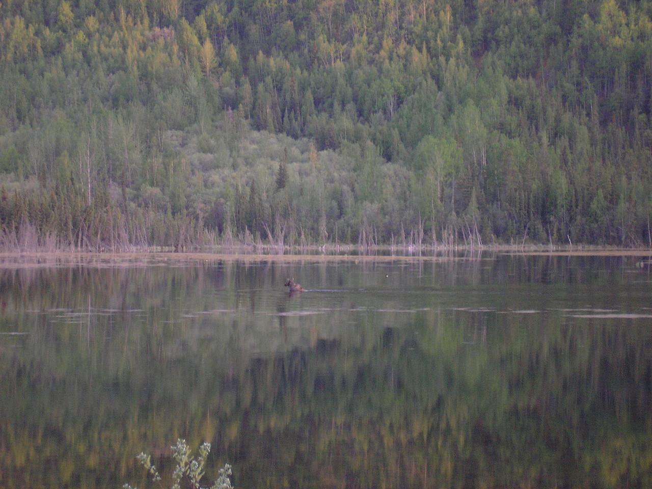 This is a small lake near Toad River Crossing, there is a Moose swmming in the lake.