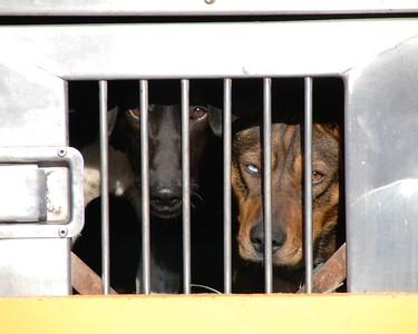 Sled Dogs - Fur Rondy - Anchorage - Alaska
