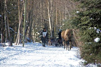 Lance Mackey vs Moose - 2009 Iditarod - Anchorage - Alaska