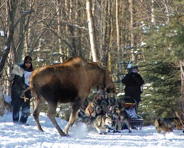 Lance Mackey vs Moose - 2009 Iditarod - Anchorage - Alaska - additional shot