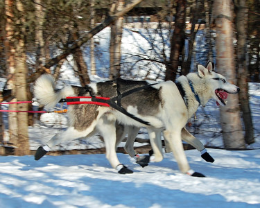 #21 - 2009 Iditarod - Anchorage - Alaska