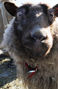 Fur Rondy - Petting Zoo - Sheep - Anchorage - Alaska