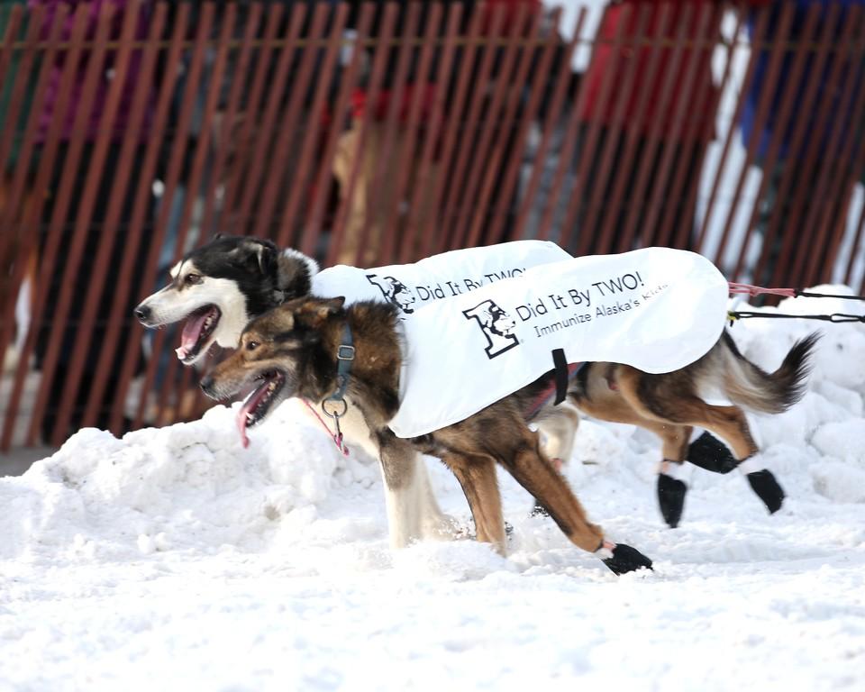 Team 31 - 2011 Iditarod Ceremonial Start - Anchorage - Alaska - USA