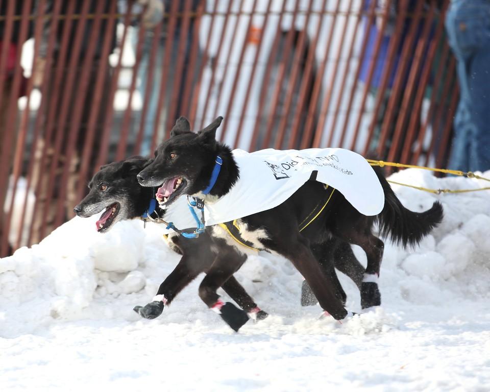 Team 33 - 2011 Iditarod Ceremonial Start - Anchorage - Alaska - USA
