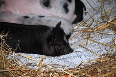 2010 Alaska State Fair - Animals - Palmer Fairgrounds - Palmer - Alaska - USA
