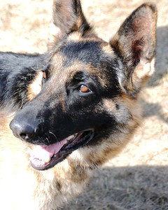 Buddy - Hero - German Shepherd - Award Ceremony - Anchorage - Alaska