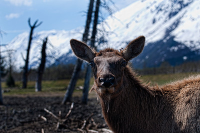 An elk poses for the camera.