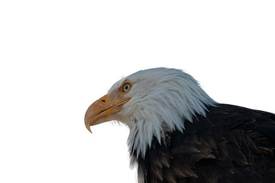 A bald eagle that has lost the ability to fly.