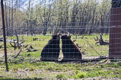 Black bears talk it out..