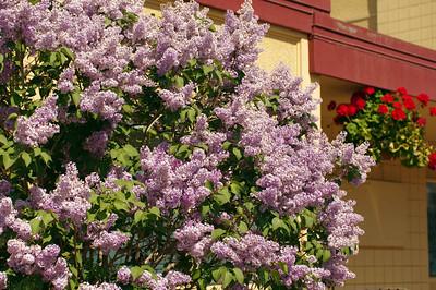 Alaskan Lilacs