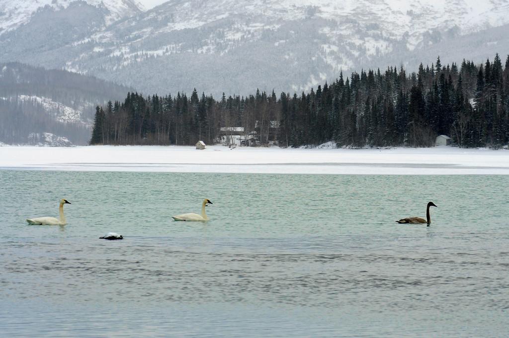 Swan - Swans in Cooper Landing, Alaska