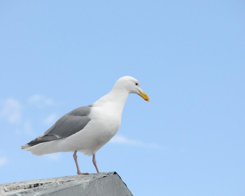 Sea Gull - Sea Gull on post in Homer, Alaska
