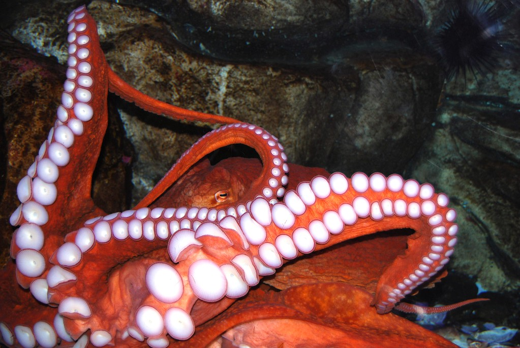Octopus - Sea Life Center, Seward, Alaska
