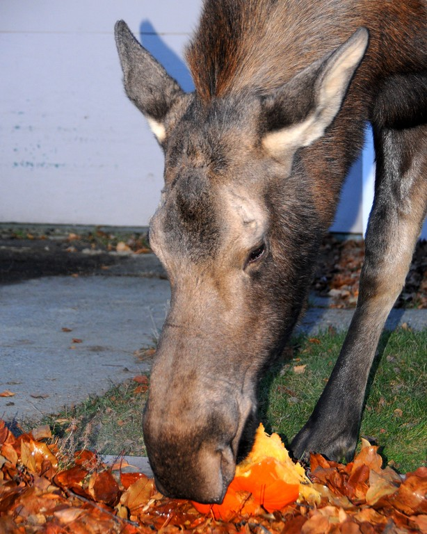 Moose - Moose eating a pumpkin, Anchorage, Alaska
