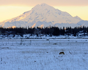 Coyote - Mount Redoubt at sunset with Coyote walking on the flats