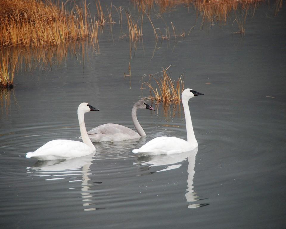 Swan - Swans in Portage, Alaska