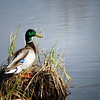 Duck - Mallard Duck, Anchorage, Alaska