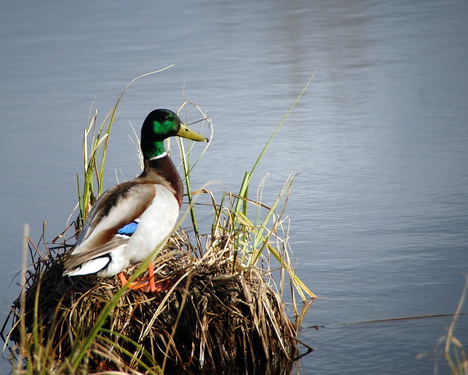 Duck - Mallard Duck, Anchorage, Alaska