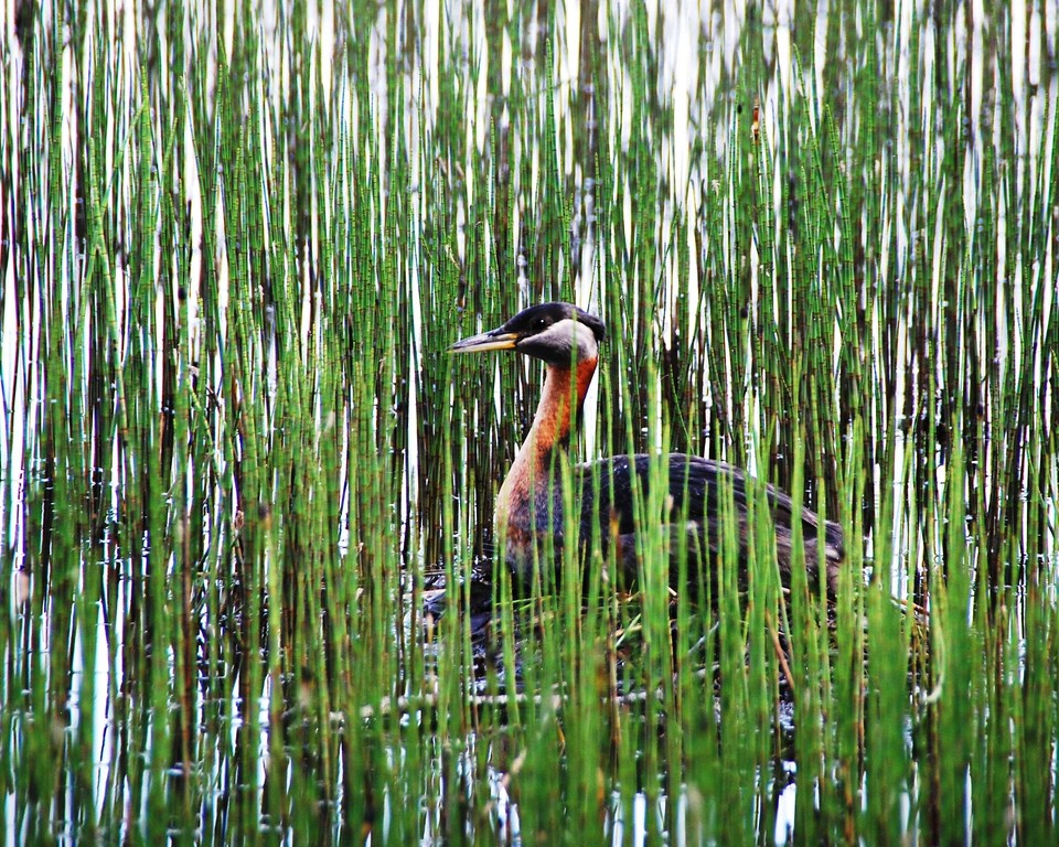 Grebe - Red Necked Grebe, Anchorage, Alaska