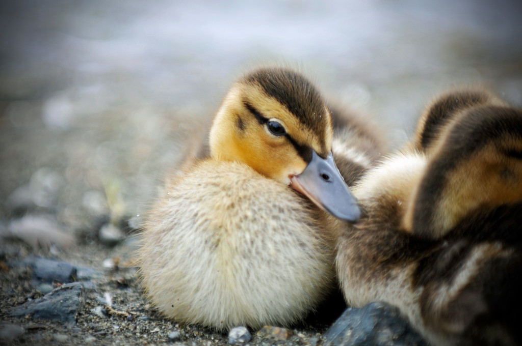 Duck - Ducklings in Anchorage, Alaska