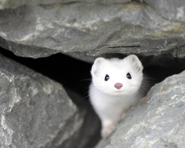 Ermine in the rocks