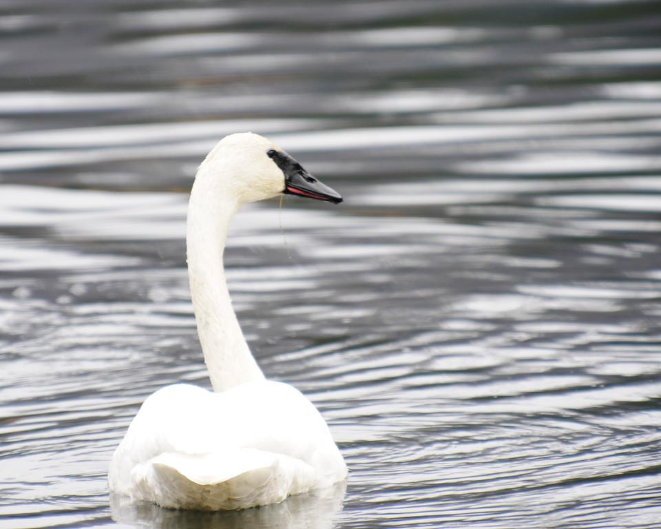 Swan - Swan in Anchorage, Alaska