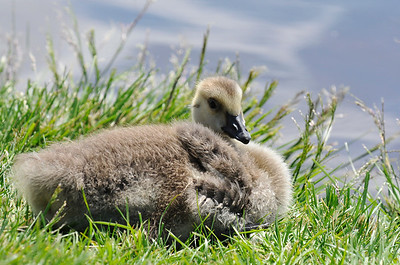 Canadian Goose - Little Gosling in Anchorage, Alaska