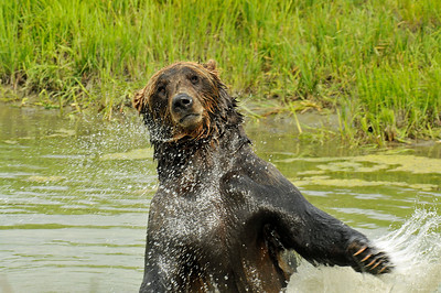 Bear - Grizzly Bear in Portage, Alaska