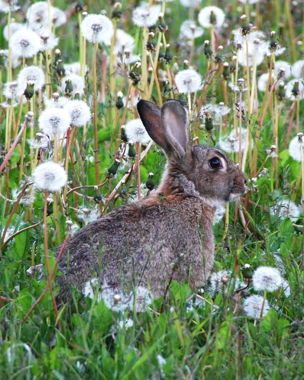 Hare - Wild Hare, Seward, Alaska