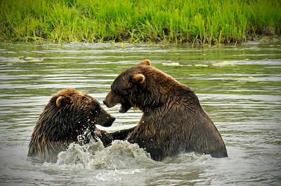 Bear - Grizzly Bears in Portage, Alaska