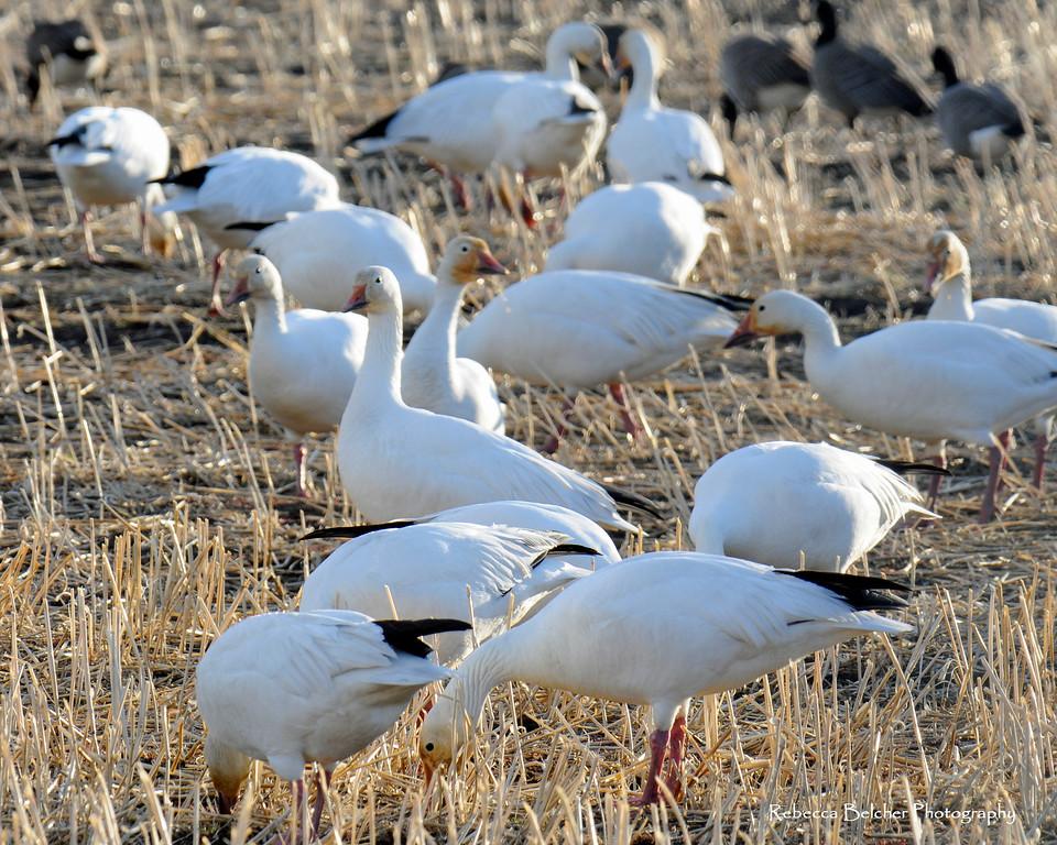 Canadian Snow Geese - Snow Geese in Palmer, Alaska