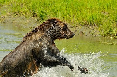 Bear - Grizzly Bears in Portage, Alaska