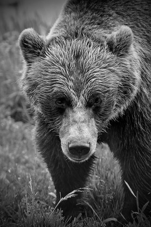 Bear - Grizzly Bear in Portage, Alaska