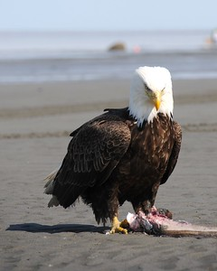 Eagle - Bald Eagle, Deep Creek, Alaska