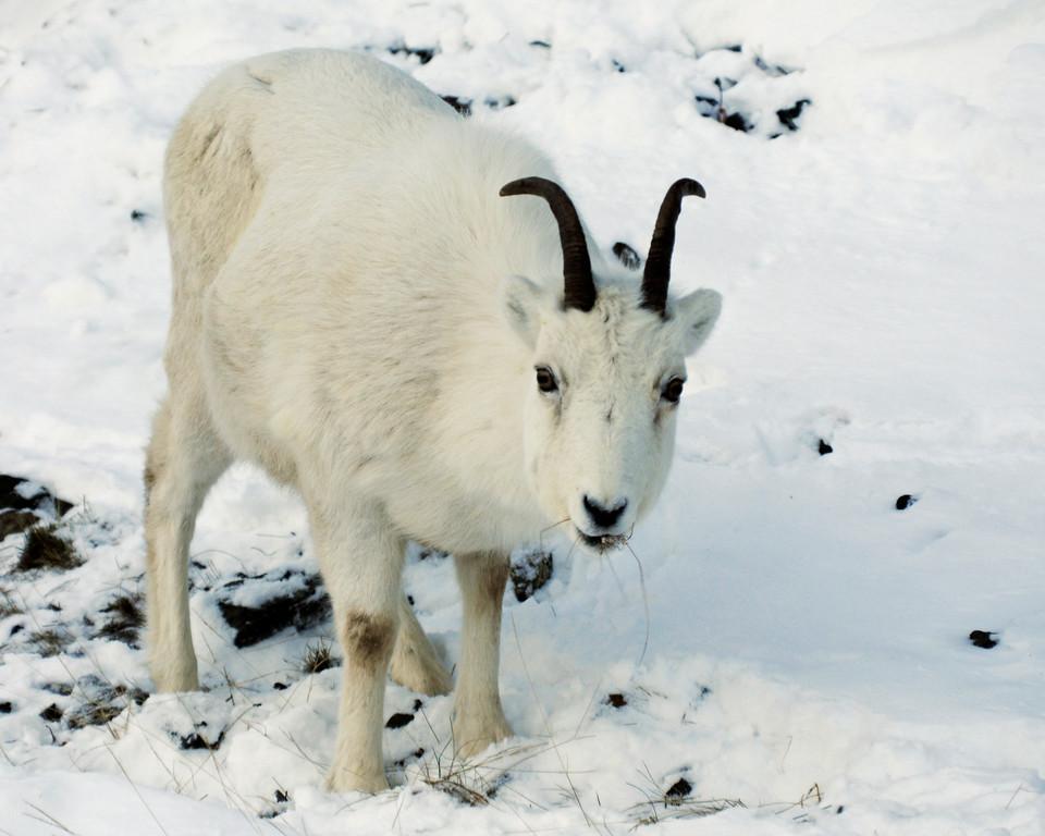 Dall Sheep on Turnagain Arm, Alaska