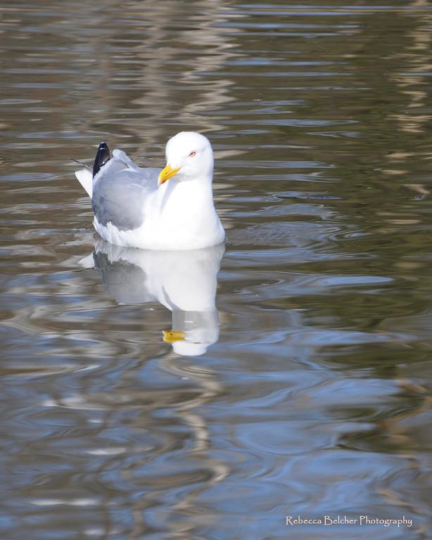 Sea Gull - Anchorage, Alaska