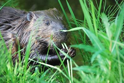 Beaver eating dandelions, Anchorage, Alaska