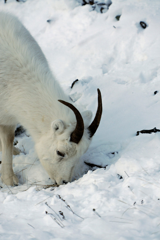 Dall Sheep on Turnagain Arm, Alaska