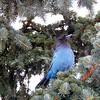 Blue Jay - Stellar Blue Jay in a Blue Spruce Tree, Anchorage, Alaska