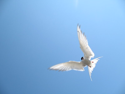 Arctic Tern, Anchorage, Alaska