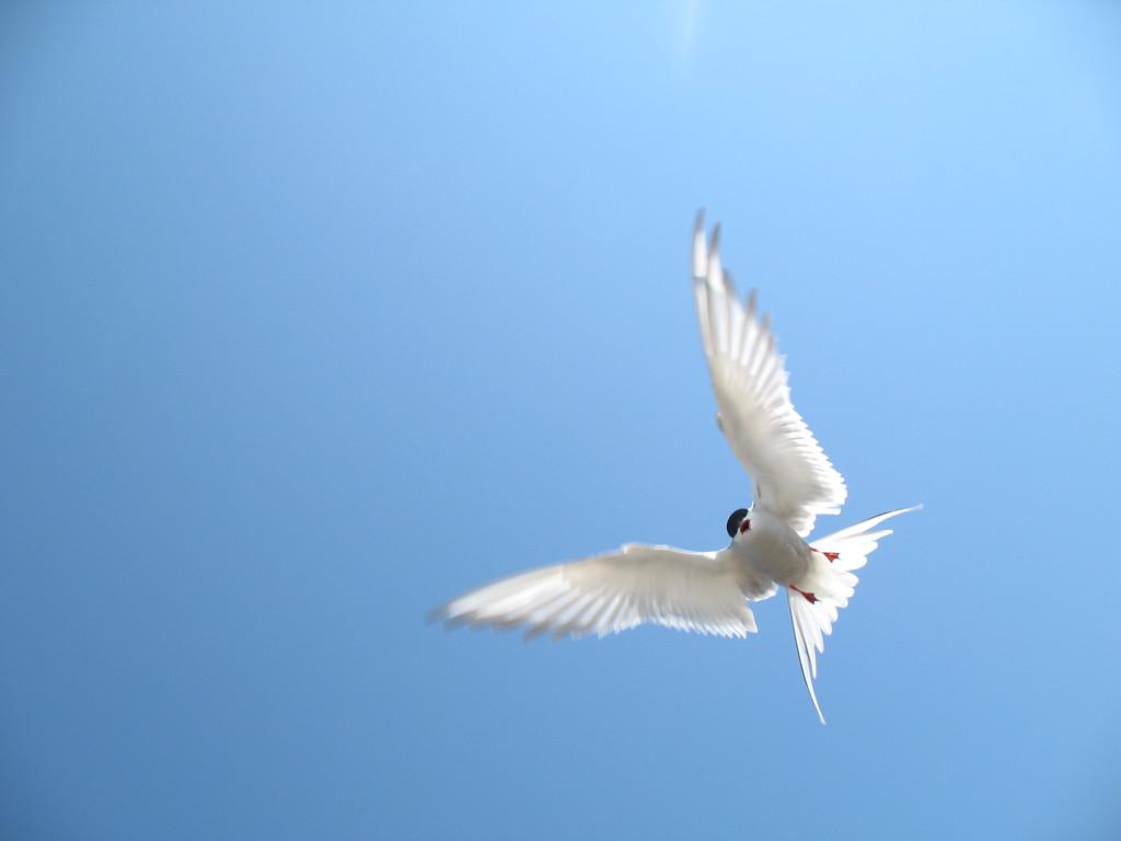 Arctic Tern, Anchorage, Alaska