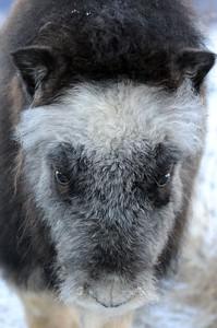 Musk Ox - Baby Musk Ox, Portage, Alaska
