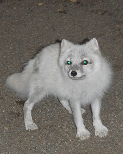 Fox - Arctic Fox, Anchorage, Alaska