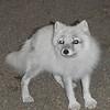 Fox - Arctic Fox, Anchorage, Alaska