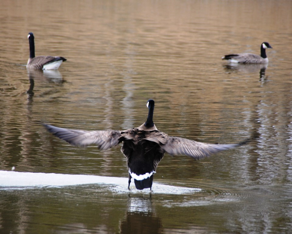Canadian Geese - Geese flapping, Anchorage, Alaska