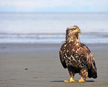 Eagle - Immature Bald Eagle in Deep Creek, Alaska