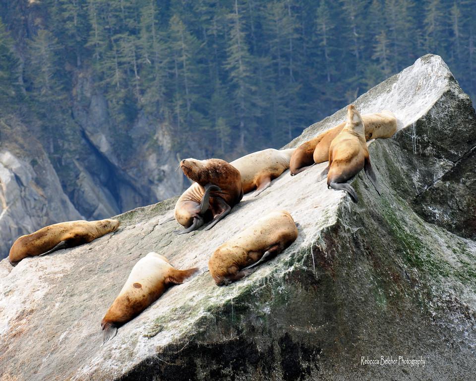 Sea Lions - Sea Lions basking in the sun, Seward, Alaska