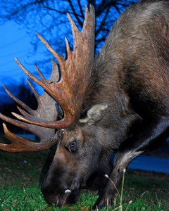 Moose - Bull Moose, Anchorage, Alaska